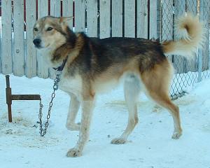 Atla var far til Ringo, og antakelig en av Norges beste langdistansehunder.