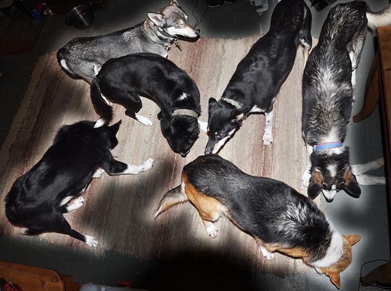 Sju hunder på kjøkkengolvet, en av dem har lagt seg under kjøkkenbordet.
