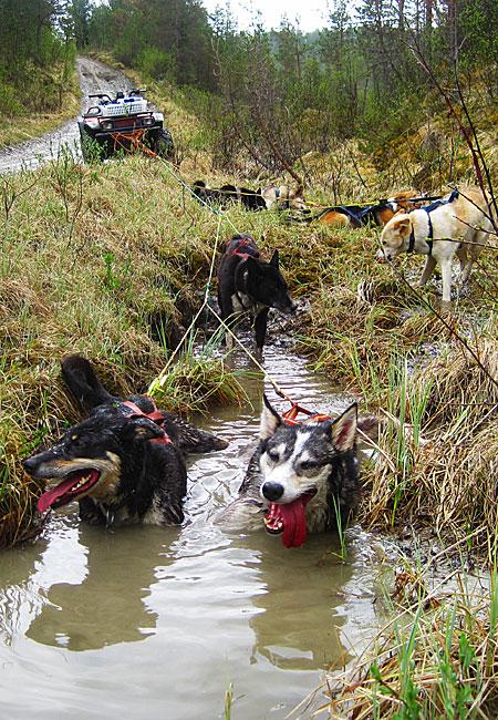 På varme sommerdager må hundene få anledning til langvarig avkjøling i kaldt vann for å unngå overoppheting