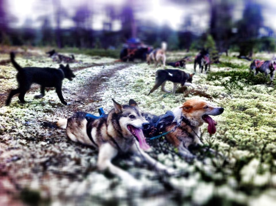 De gamle holder fortsatt koken. Gullet og Togo fikk æren av å være først ut som lederhunder på høstens første treningstur.