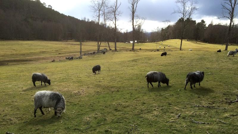 Et hundretalls gammelnorske sauer beiter fritt rundt på Veøya gjennom hele året.