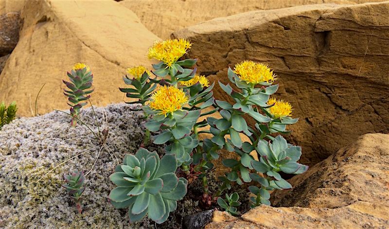 Midt i den gule, næringsfattige steinørkenen klorer enkelte hardføre planter seg fast. Hva denne blomsten heter aner jeg ikke.